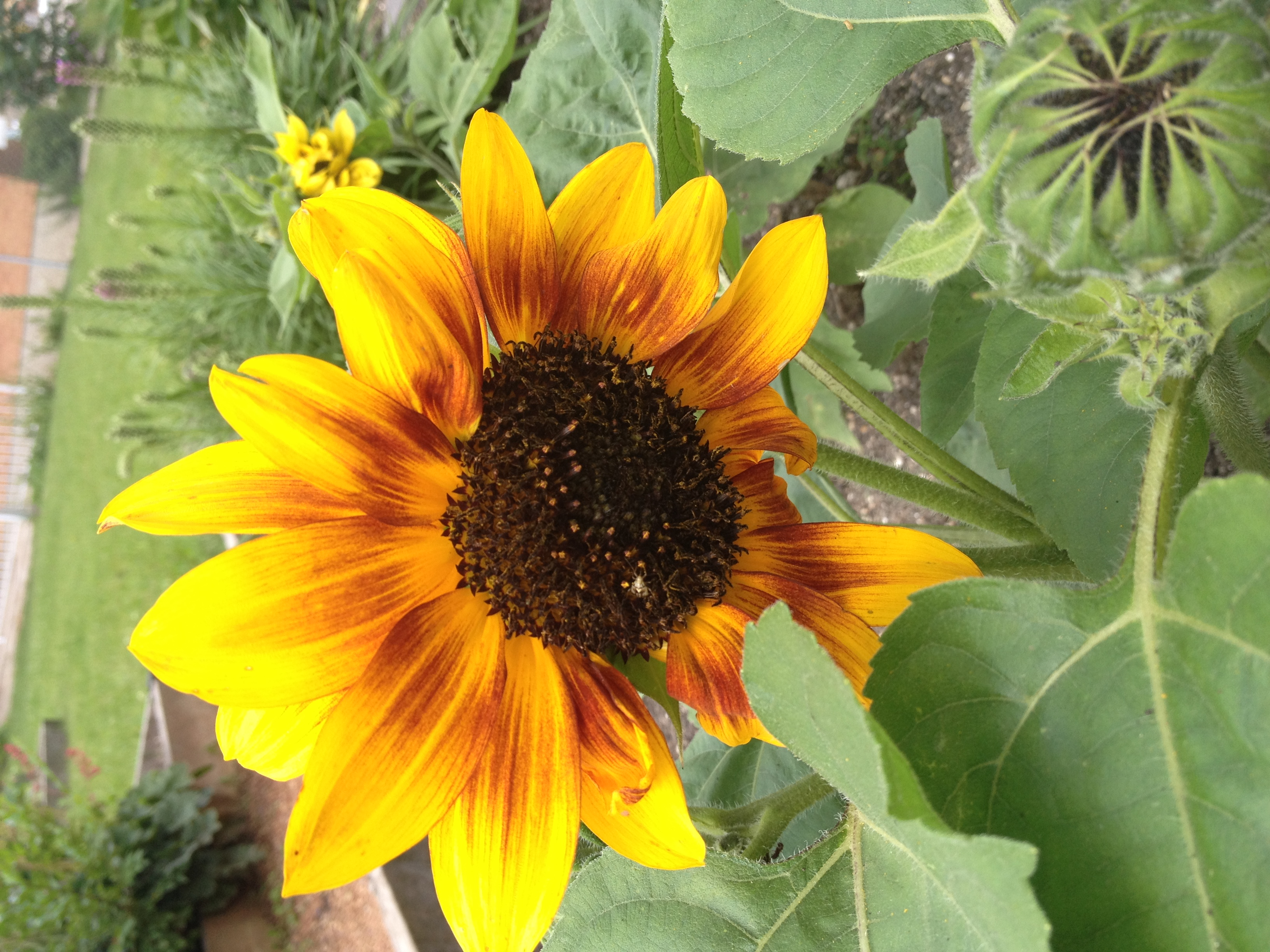 Sunflower in SMRUC garden